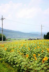 ひまわり畑の向こうは田園風景