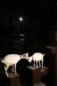 夜の京都市動物園 ヤギ
