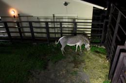 夜の京都市動物園 シマウマ