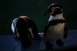 夜間開園の京都市動物園 ペンギン