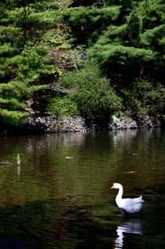 宝ヶ池のガチョウ