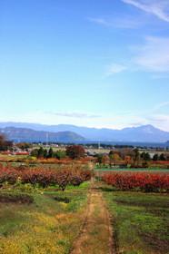 深清水の柿と琵琶湖と伊吹山