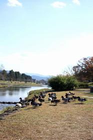上陸してきた賀茂川のカモ