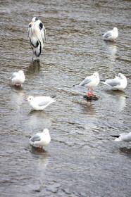 賀茂川のユリカモメ