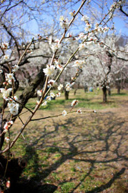 京都府立植物園の梅林