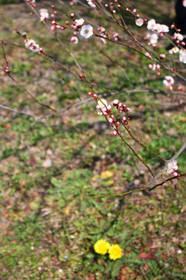 梅花とタンポポ