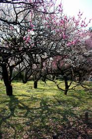 北山門付近の梅