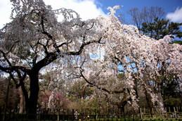 2016年京都御苑(京都御所)の桜