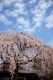 2016年の本満寺しだれ桜