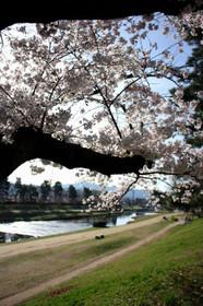 2016年賀茂川の桜(北大路)