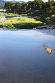 賀茂川の鯉