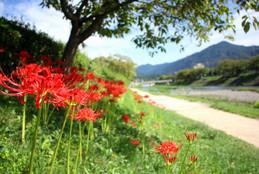 京都・高野川の彼岸花(曼珠沙華)と比叡山