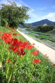 高野川の彼岸花(曼珠沙華)と比叡山