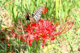 彼岸花にとまるアゲハ蝶