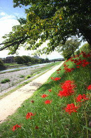高野川の彼岸花(曼珠沙華)と高野橋