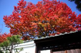 妙覚寺境内の紅葉