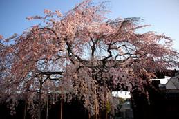 満開の妙覚寺大門しだれ桜