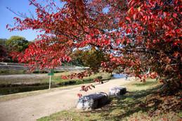 秋色に染まる北山大橋付近の桜