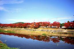 秋色の桜並木(上賀茂橋)