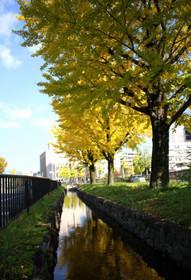 堀川通りせせらぎ公園のいちょう並木