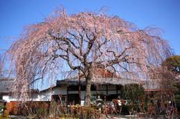 2017年咲き始めた本満寺のしだれ桜