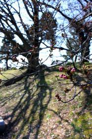 まだつぼみ 賀茂川の桜2017