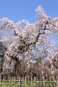 2017年京都御苑近衛邸跡付近の桜