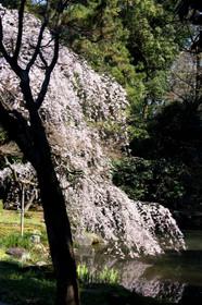 2017年京都御苑近衛池付近の桜