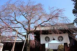 妙覚寺大門の桜はまだつぼみ