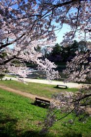 2017年賀茂川(北大路橋~北山大橋間) 西岸の桜