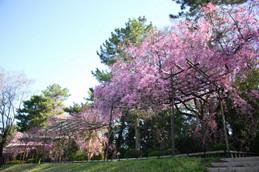 2017年半木の道の桜