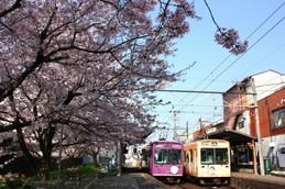 嵐電北野線「龍安寺」駅の桜
