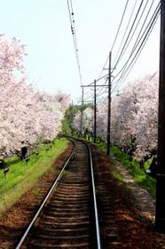 """北野線""""桜のトンネル"""""""