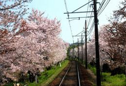 """桜の名所 嵐電北野線""""桜のトンネル"""""""