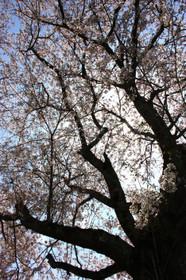 大津信楽線八幡神社御旅所の桜