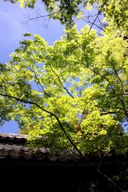 新緑の高桐院2017
