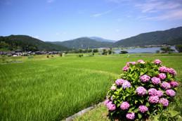 余呉湖の紫陽花(あじさい)