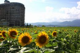 守山なぎさ公園の向日葵(ひまわり)畑