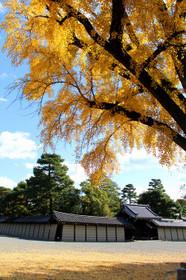京都御苑の銀杏(いちょう)