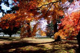 京都御苑の紅葉