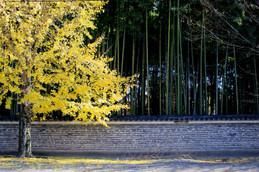 2017年京都 名残りの紅葉・今宮神社(紫野高校向かいのイチョウ並木)