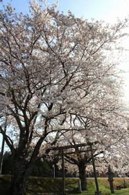 大津市牧 八幡神社御旅所の桜2018