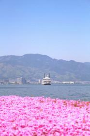 なぎさプロムナードシバザクラと琵琶湖汽船ミシガン