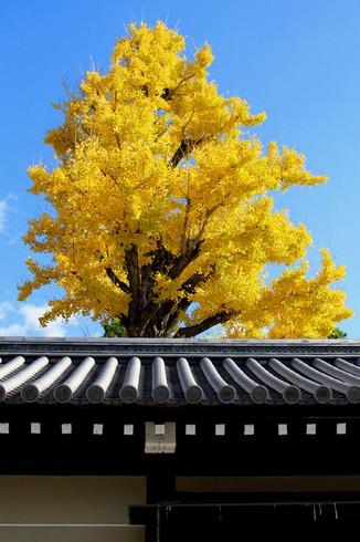 京都御苑の銀杏と紅葉