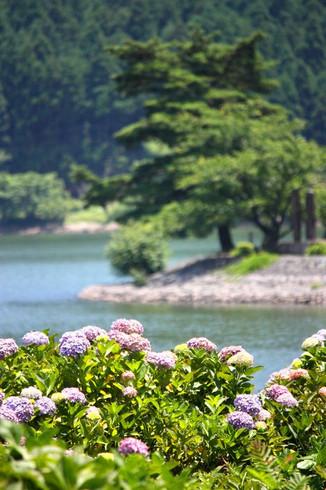 余呉湖のアジサイ
