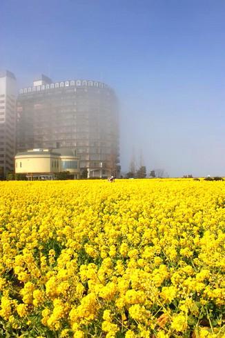 守山第一なぎさ公園に咲く菜の花