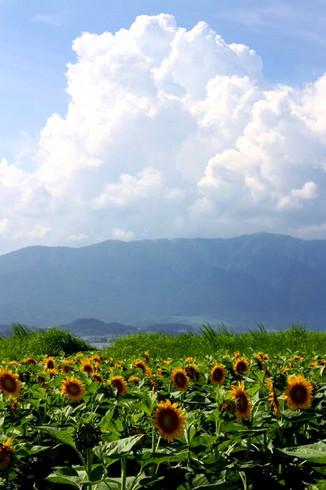守山第一なぎさ公園に咲く向日葵