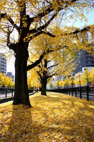 堀川せせらぎ公園の銀杏(いちょう)並木