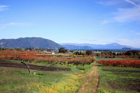 近江今津・深清水 一面広がる柿畑