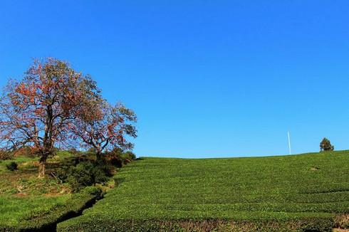 宇治田原の茶畑